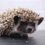 Boy 2 - 5.5 weeks old - Dark Brown Pinto Snow $350
